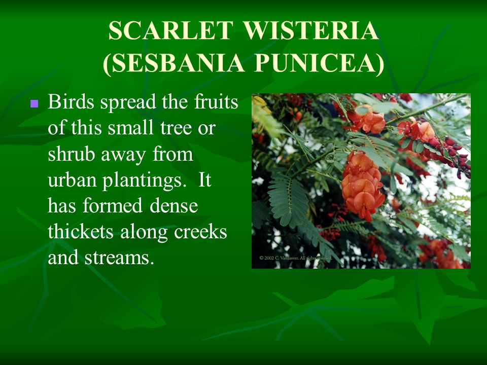 SCARLET WISTERIA (SESBANIA PUNICEA) Birds spread the fruits of this small tree or shrub away from urban plantings.