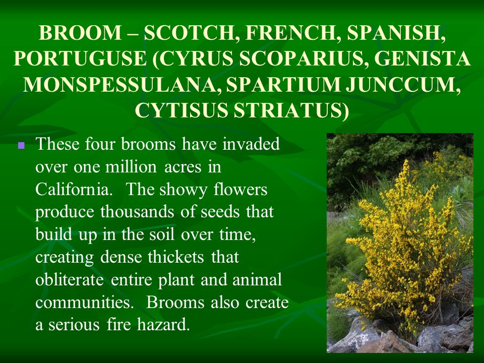 BROOM – SCOTCH, FRENCH, SPANISH, PORTUGUSE (CYRUS SCOPARIUS, GENISTA MONSPESSULANA, SPARTIUM JUNCCUM, CYTISUS STRIATUS) These four brooms have invaded over one million acres in California.