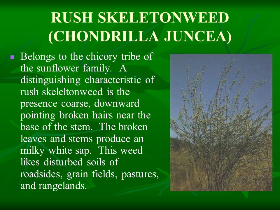 RUSH SKELETONWEED (CHONDRILLA JUNCEA) Belongs to the chicory tribe of the sunflower family.