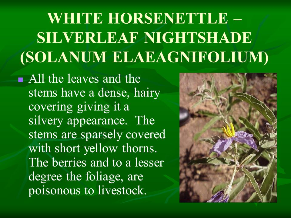 WHITE HORSENETTLE – SILVERLEAF NIGHTSHADE (SOLANUM ELAEAGNIFOLIUM) All the leaves and the stems have a dense, hairy covering giving it a silvery appearance.