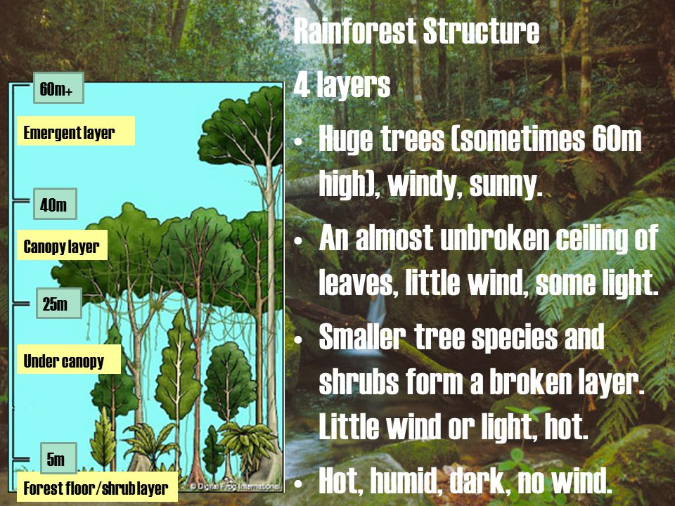 Rainforest Structure 4 layers Huge trees (sometimes 60m high), windy, sunny.