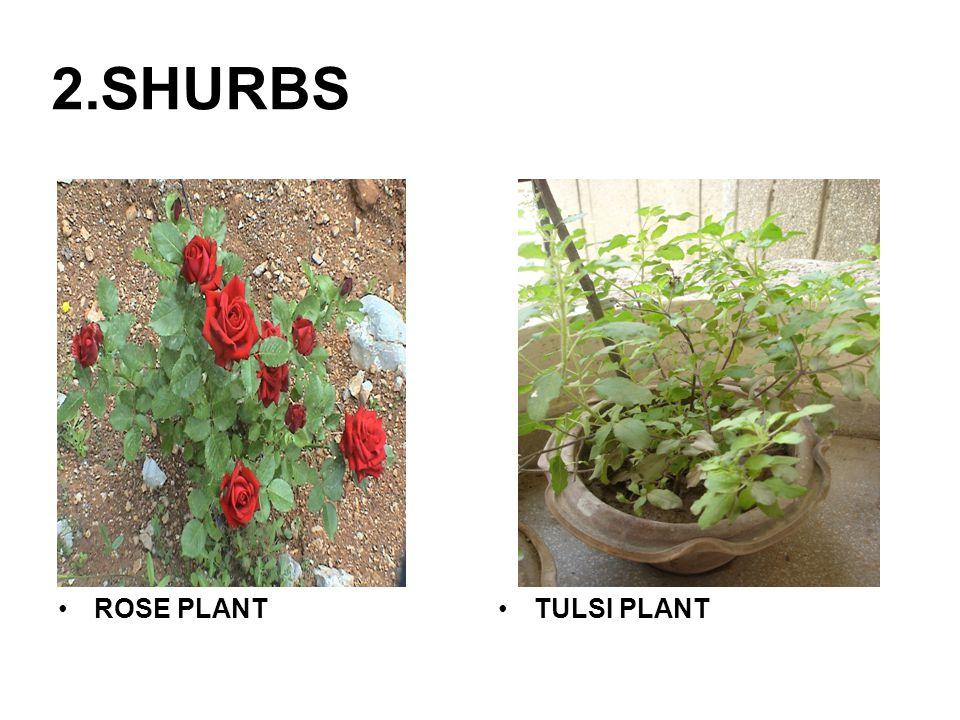 2.SHURBS ROSE PLANTTULSI PLANT