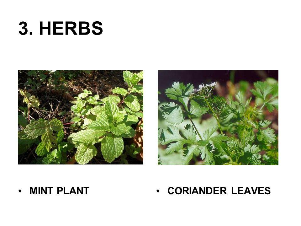 4.CLIMBERS MONEY PLANT