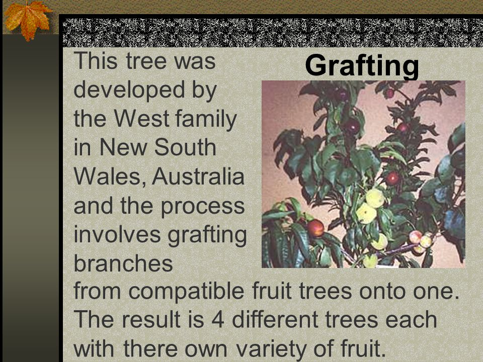Grafting This tree was developed by the West family in New South Wales, Australia and the process involves grafting branches from compatible fruit trees onto one.