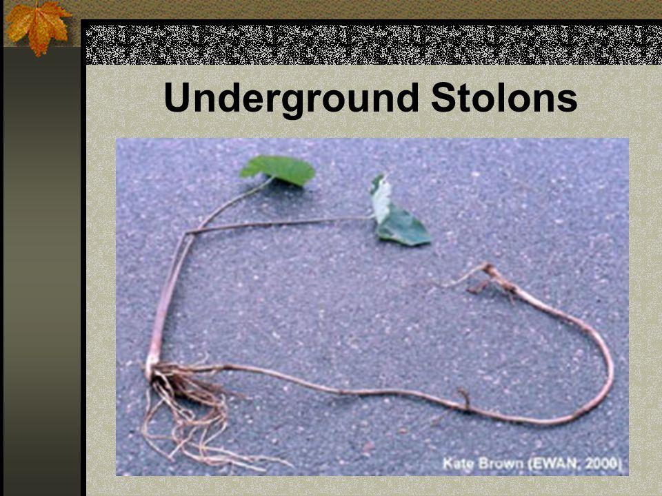 Underground Stolons