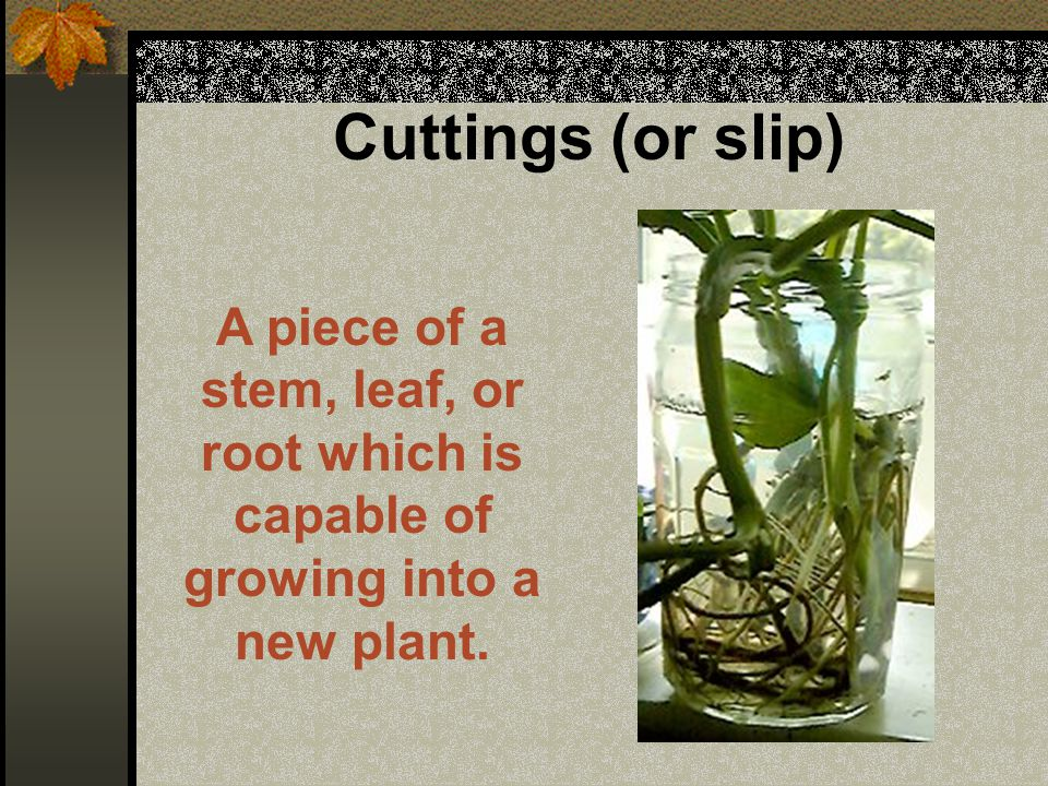 Cuttings (or slip) Cuttings are possible because certain types of plants are able to sprout special types of roots at the cut end of their stems.