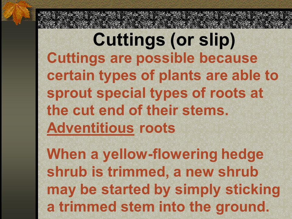 Layering A branch is exposed to the soil, allowed to form roots, and then separated from the parent plant.