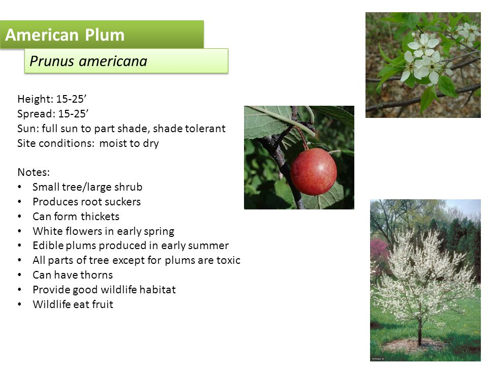 American Plum Prunus americana Height: 15-25' Spread: 15-25' Sun: full sun to part shade, shade tolerant Site conditions: moist to dry Notes: Small tree/large shrub Produces root suckers Can form thickets White flowers in early spring Edible plums produced in early summer All parts of tree except for plums are toxic Can have thorns Provide good wildlife habitat Wildlife eat fruit
