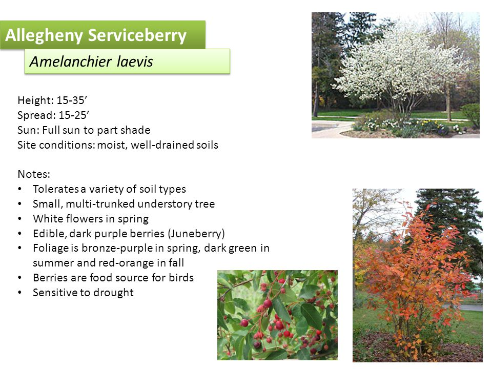 Allegheny Serviceberry Amelanchier laevis Height: 15-35' Spread: 15-25' Sun: Full sun to part shade Site conditions: moist, well-drained soils Notes: Tolerates a variety of soil types Small, multi-trunked understory tree White flowers in spring Edible, dark purple berries (Juneberry) Foliage is bronze-purple in spring, dark green in summer and red-orange in fall Berries are food source for birds Sensitive to drought