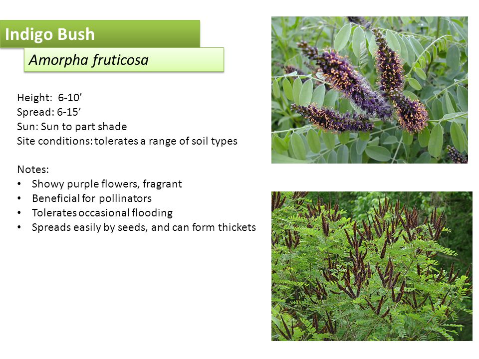 Indigo Bush Amorpha fruticosa Height: 6-10' Spread: 6-15' Sun: Sun to part shade Site conditions: tolerates a range of soil types Notes: Showy purple flowers, fragrant Beneficial for pollinators Tolerates occasional flooding Spreads easily by seeds, and can form thickets