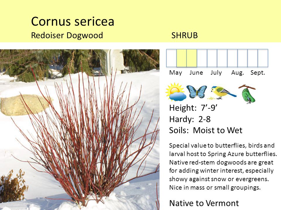 Cornus sericea Redoiser DogwoodSHRUB May June July Aug.