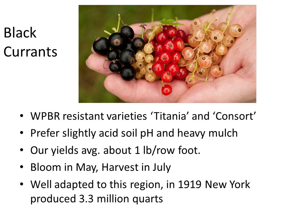 Black Currants WPBR resistant varieties 'Titania' and 'Consort' Prefer slightly acid soil pH and heavy mulch Our yields avg.