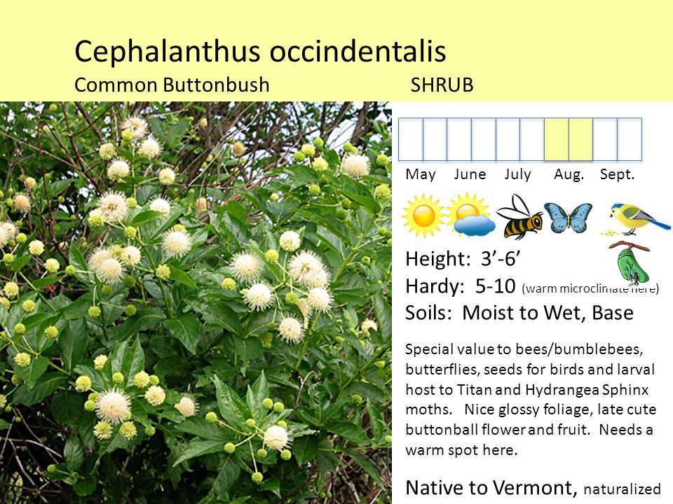 Cephalanthus occindentalis Common ButtonbushSHRUB May June July Aug.