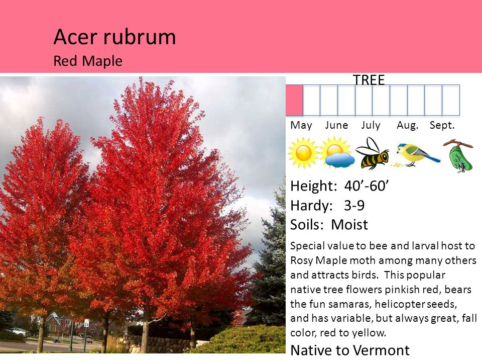 Acer rubrum Red Maple TREE May June July Aug. Sept.