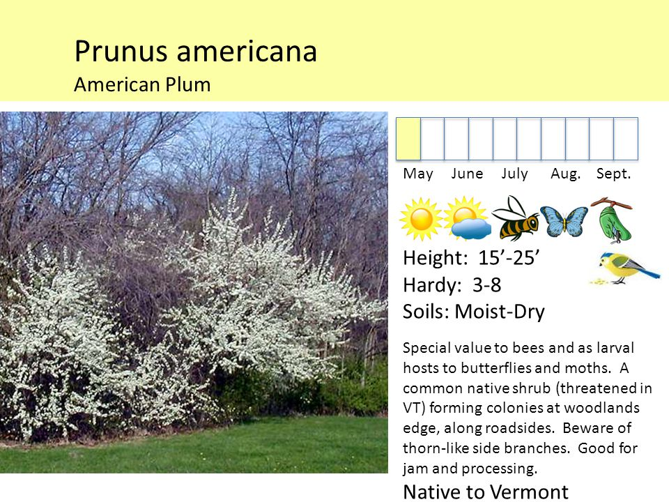 Prunus americana American Plum May June July Aug. Sept.