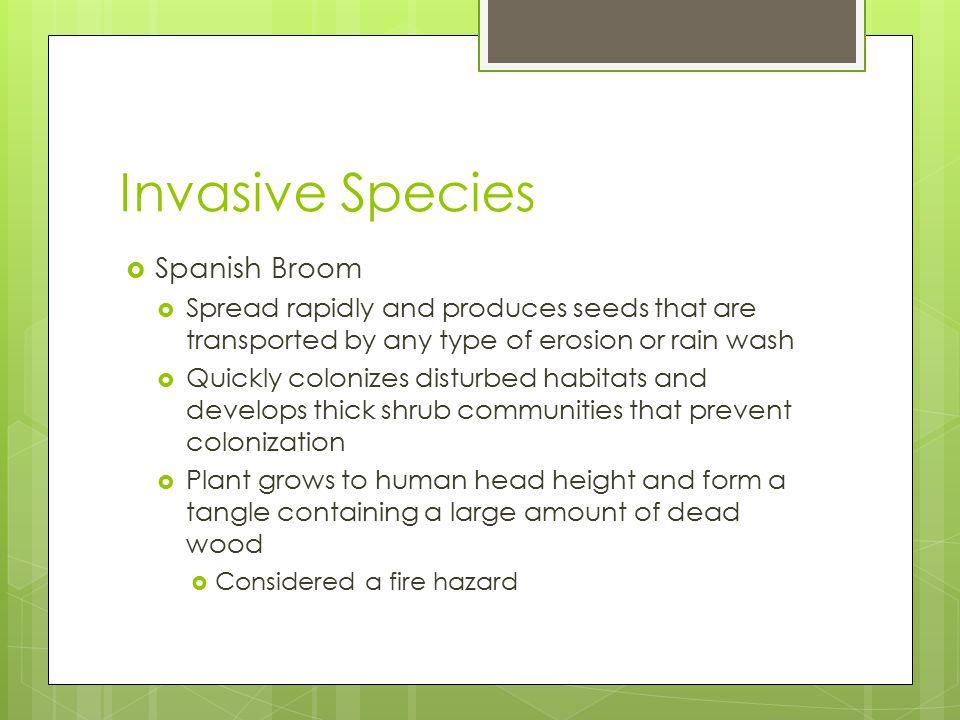 Invasive Species  Spanish Broom  Spread rapidly and produces seeds that are transported by any type of erosion or rain wash  Quickly colonizes disturbed habitats and develops thick shrub communities that prevent colonization  Plant grows to human head height and form a tangle containing a large amount of dead wood  Considered a fire hazard