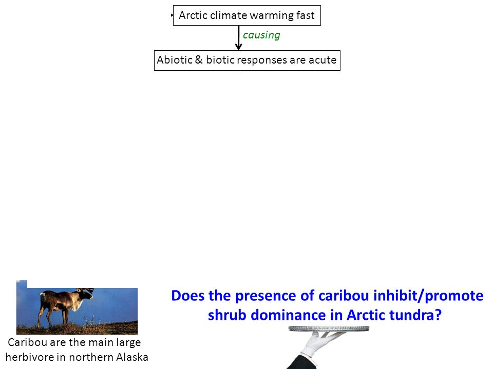 Does the presence of caribou inhibit/promote shrub dominance in Arctic tundra.
