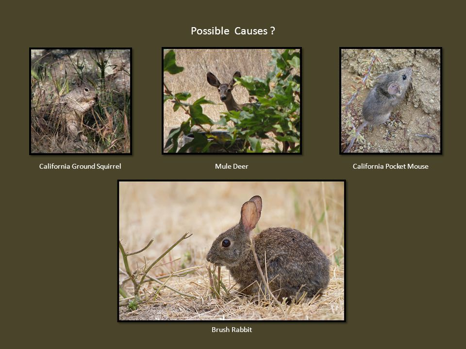 Possible Causes California Ground SquirrelCalifornia Pocket MouseMule Deer Brush Rabbit