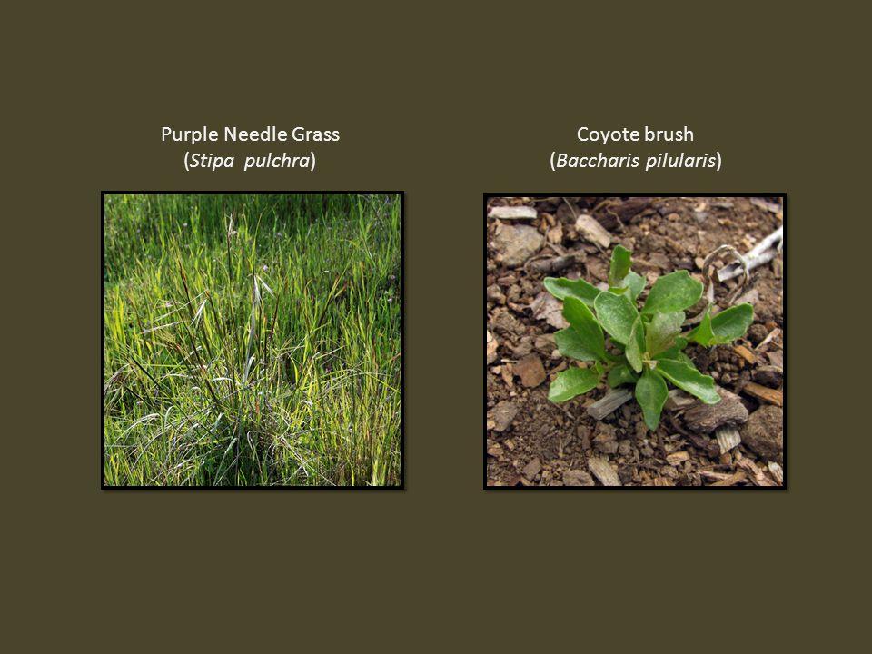 Purple Needle Grass (Stipa pulchra) Coyote brush (Baccharis pilularis)