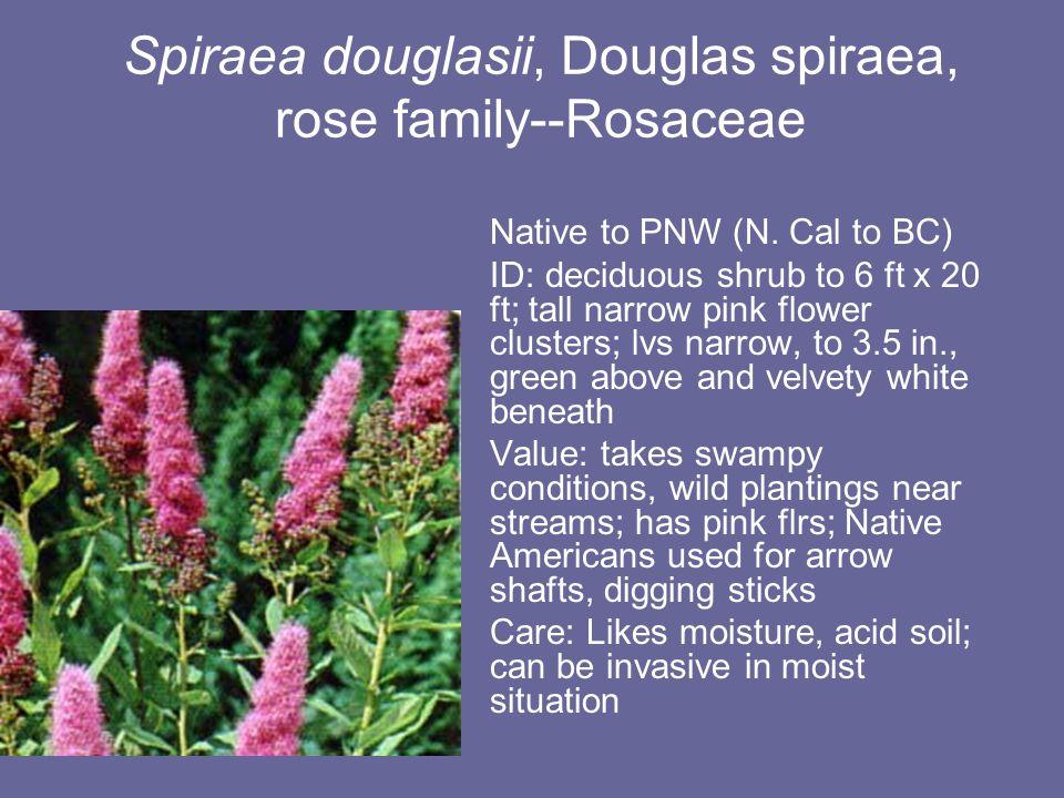 Spiraea douglasii, Douglas spiraea, rose family--Rosaceae Native to PNW (N.