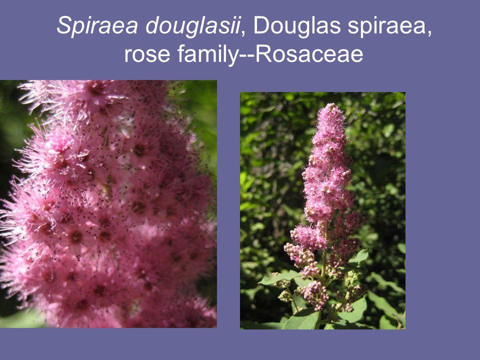 Spiraea douglasii, Douglas spiraea, rose family--Rosaceae