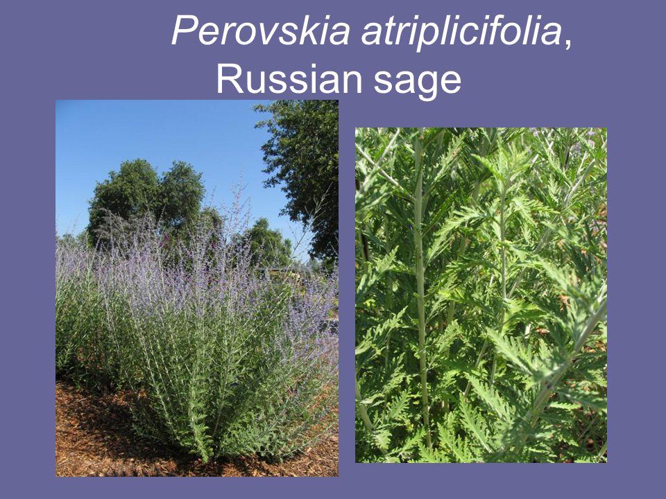 Perovskia atriplicifolia, Russian sage