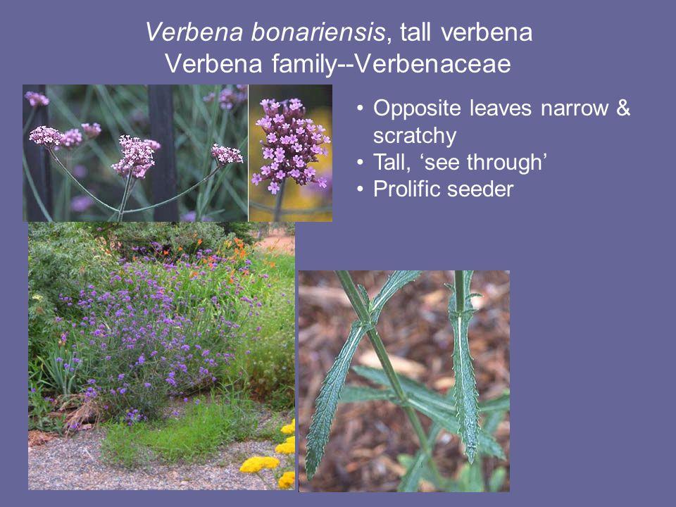 Verbena bonariensis, tall verbena Verbena family--Verbenaceae Opposite leaves narrow & scratchy Tall, 'see through' Prolific seeder