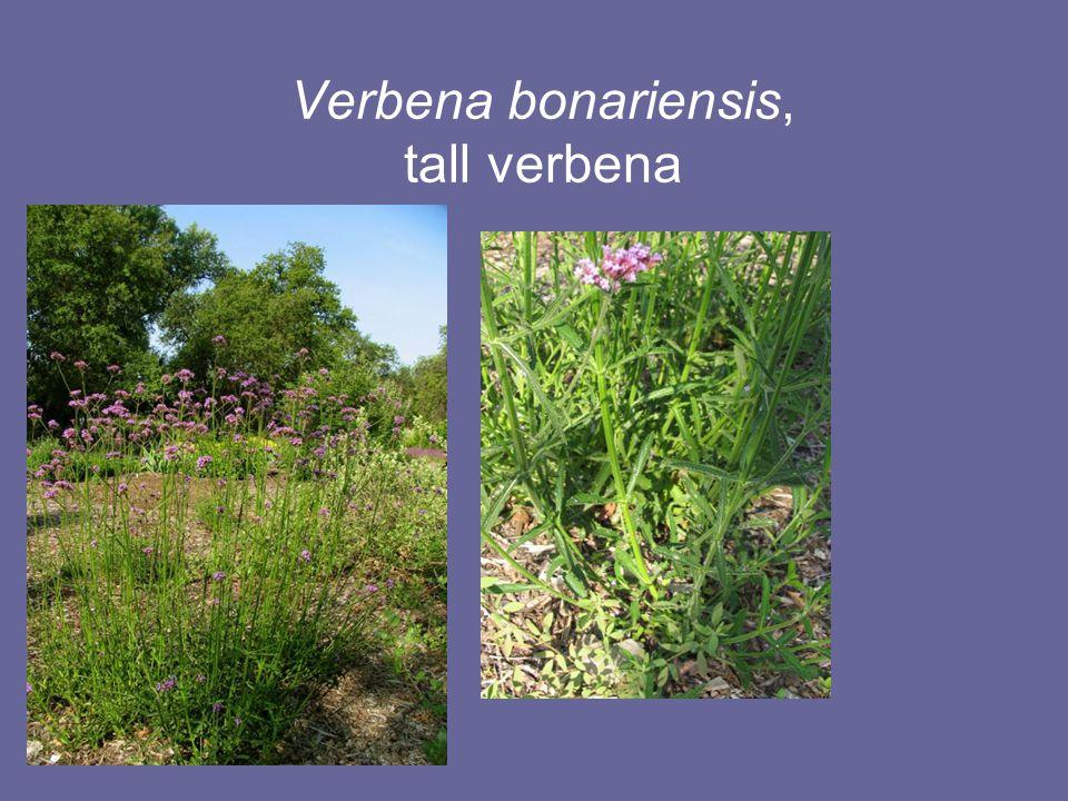 Verbena bonariensis, tall verbena