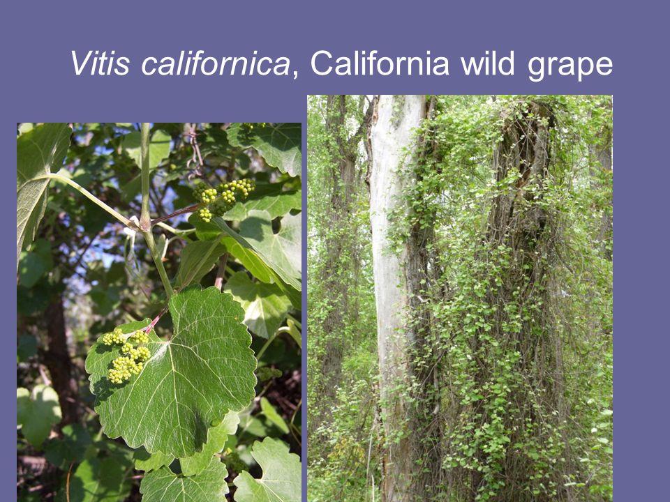 Vitis californica, California wild grape