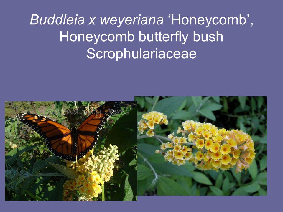 Buddleia x weyeriana 'Honeycomb', Honeycomb butterfly bush Scrophulariaceae