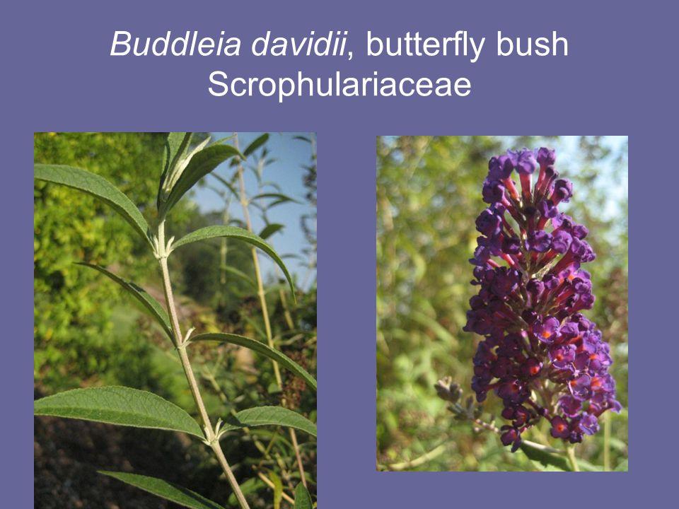 Buddleia davidii, butterfly bush Scrophulariaceae