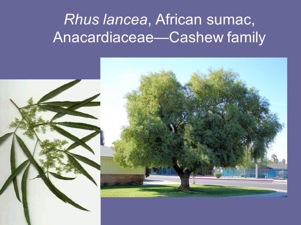 Rhus lancea, African sumac, Anacardiaceae—Cashew family