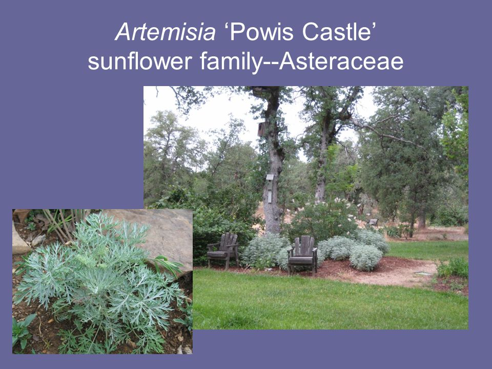 Artemisia 'Powis Castle' sunflower family--Asteraceae