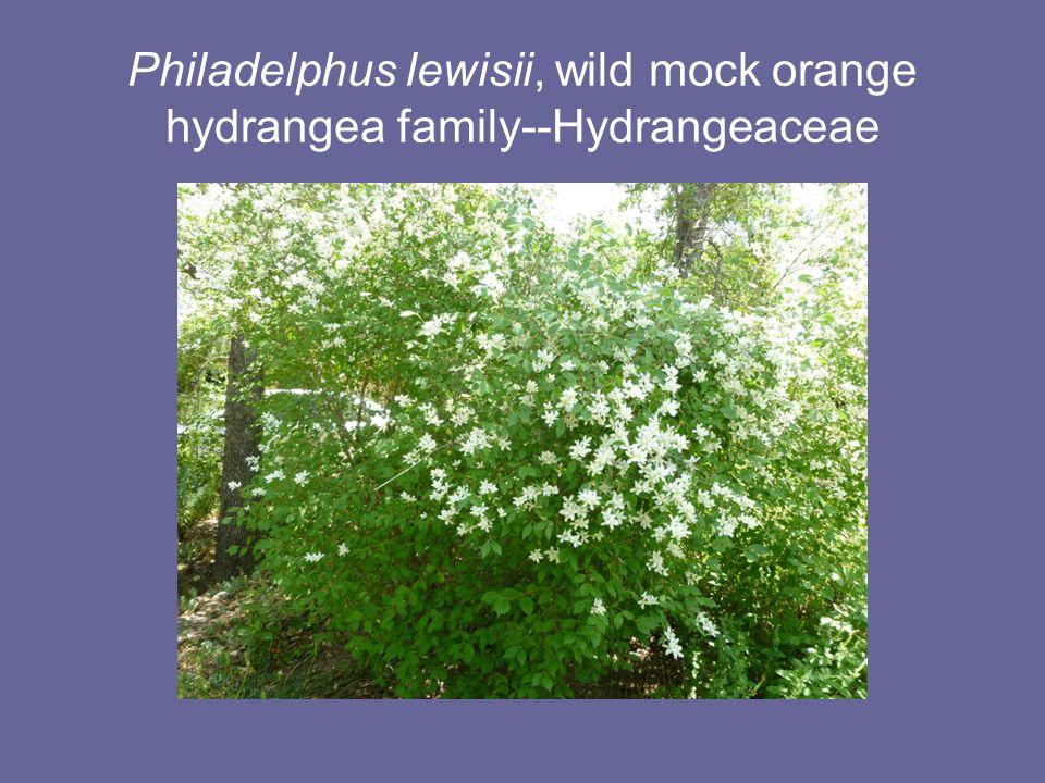 Philadelphus lewisii, wild mock orange hydrangea family--Hydrangeaceae