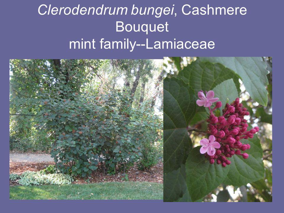 Clerodendrum bungei, Cashmere Bouquet mint family--Lamiaceae