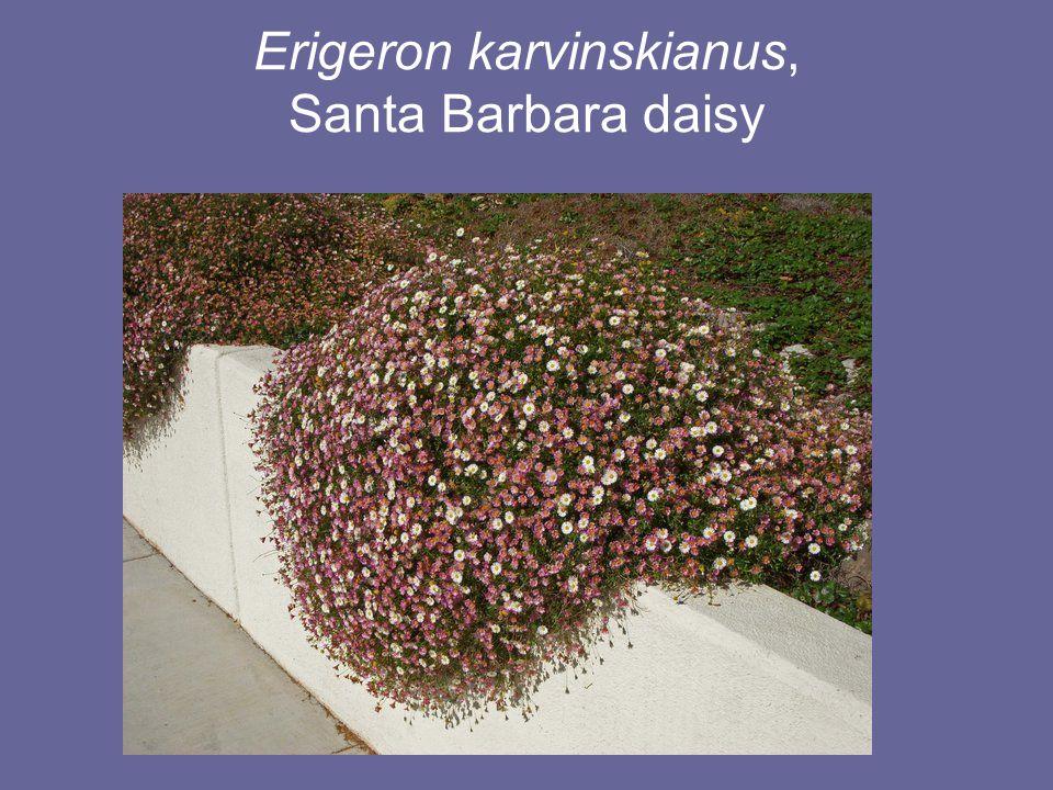 Erigeron karvinskianus, Santa Barbara daisy