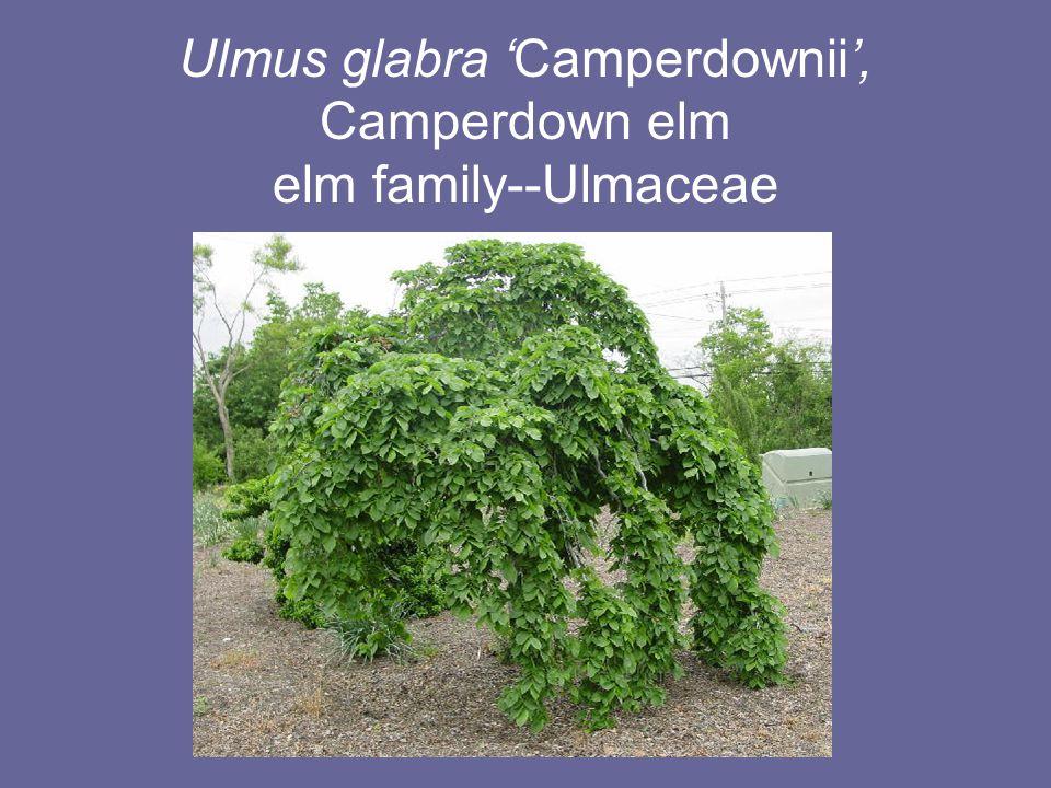 Ulmus glabra 'Camperdownii', Camperdown elm elm family--Ulmaceae