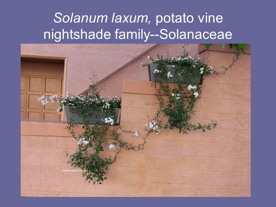Solanum laxum, potato vine nightshade family--Solanaceae