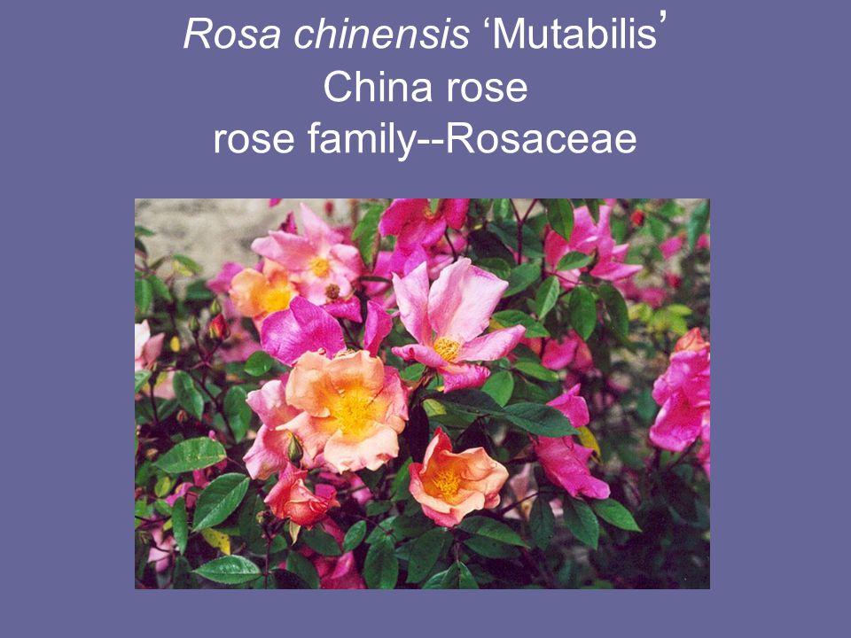 Rosa chinensis 'Mutabilis ' China rose rose family--Rosaceae