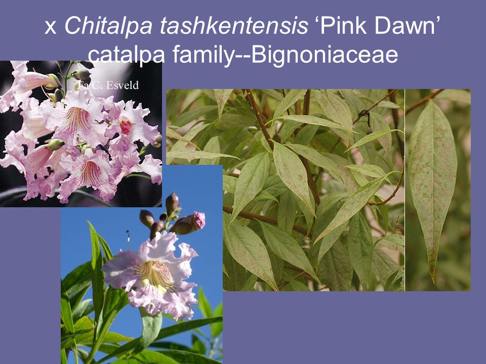 x Chitalpa tashkentensis 'Pink Dawn' Intergeneric hybrid between Chilopsis (desert willow) and Catalpa; combines drought tolerance with large flowers ID: Decidous tree 20-30 x 20-30ft; leaves long and narrow; flowers tubular, in clusters Value: drought tolerant, flowers, shade Problems: messy Care: Do not overwater