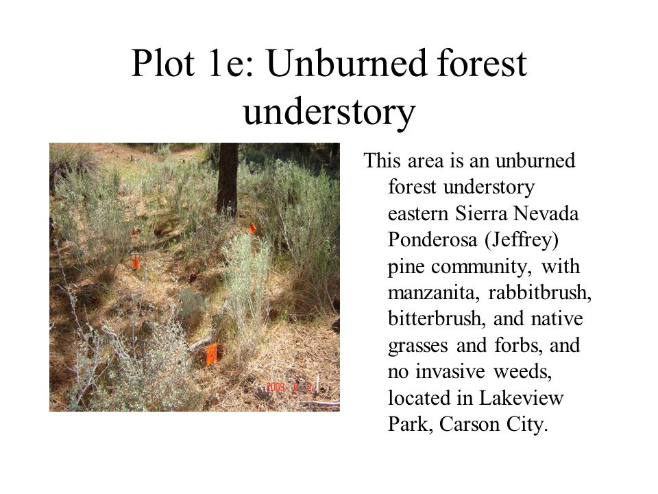 Plot 1e: Unburned forest understory This area is an unburned forest understory eastern Sierra Nevada Ponderosa (Jeffrey) pine community, with manzanit