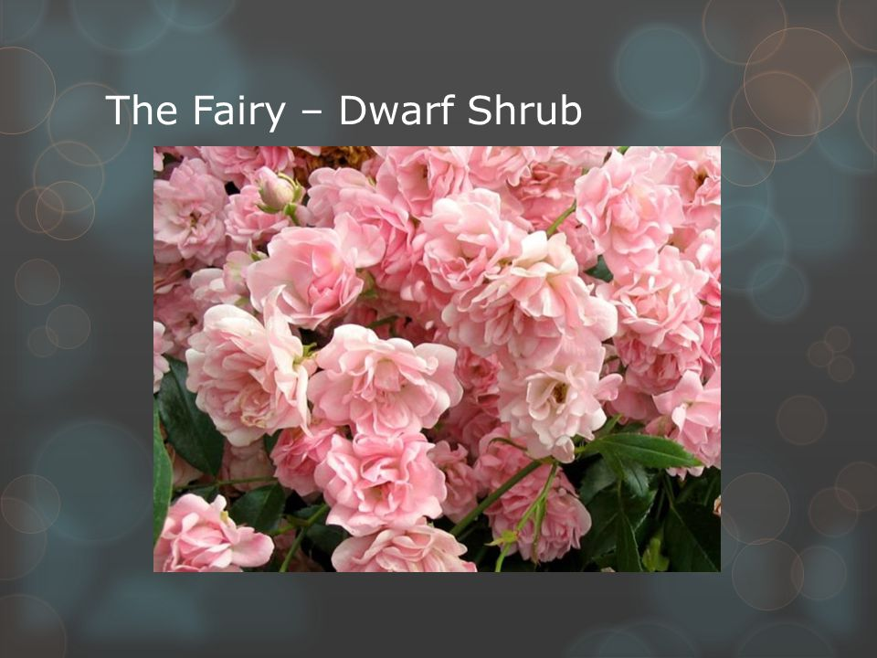 The Fairy – Dwarf Shrub