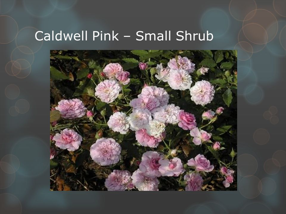 Caldwell Pink – Small Shrub