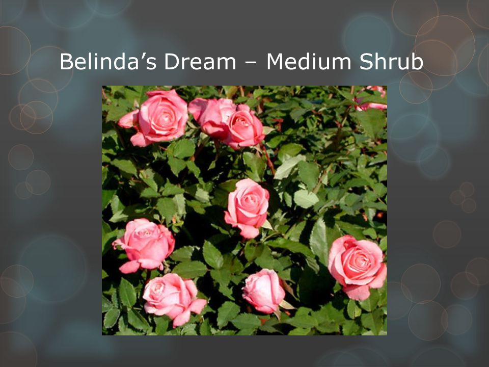 Belinda's Dream – Medium Shrub