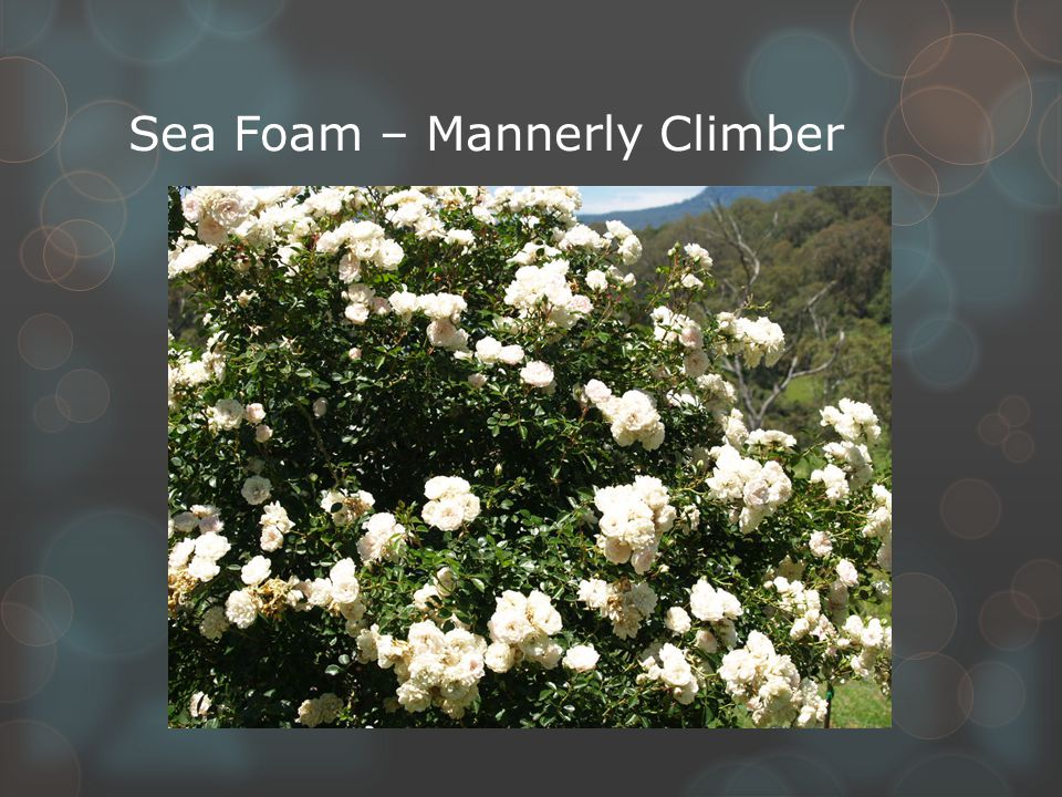 Sea Foam – Mannerly Climber
