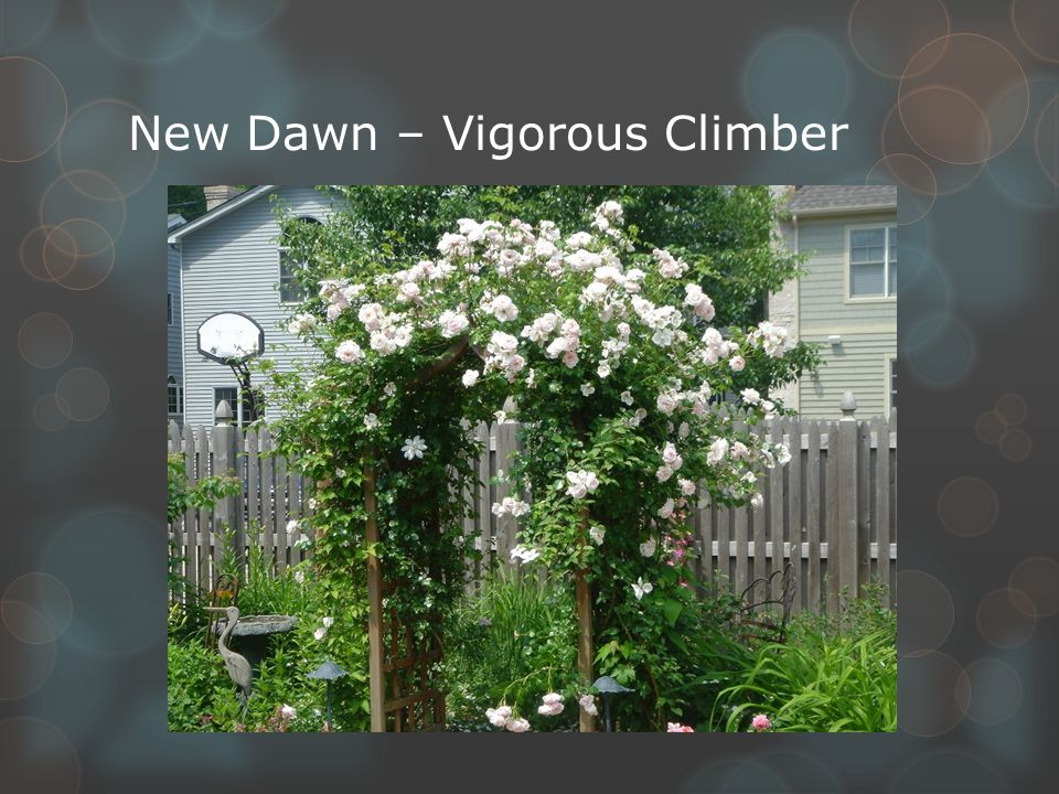 New Dawn – Vigorous Climber
