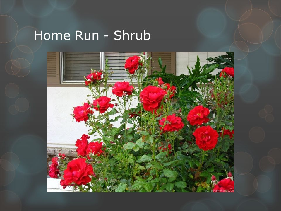 Home Run - Shrub