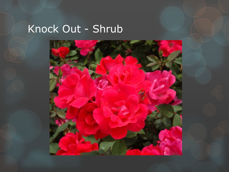 Knock Out - Shrub