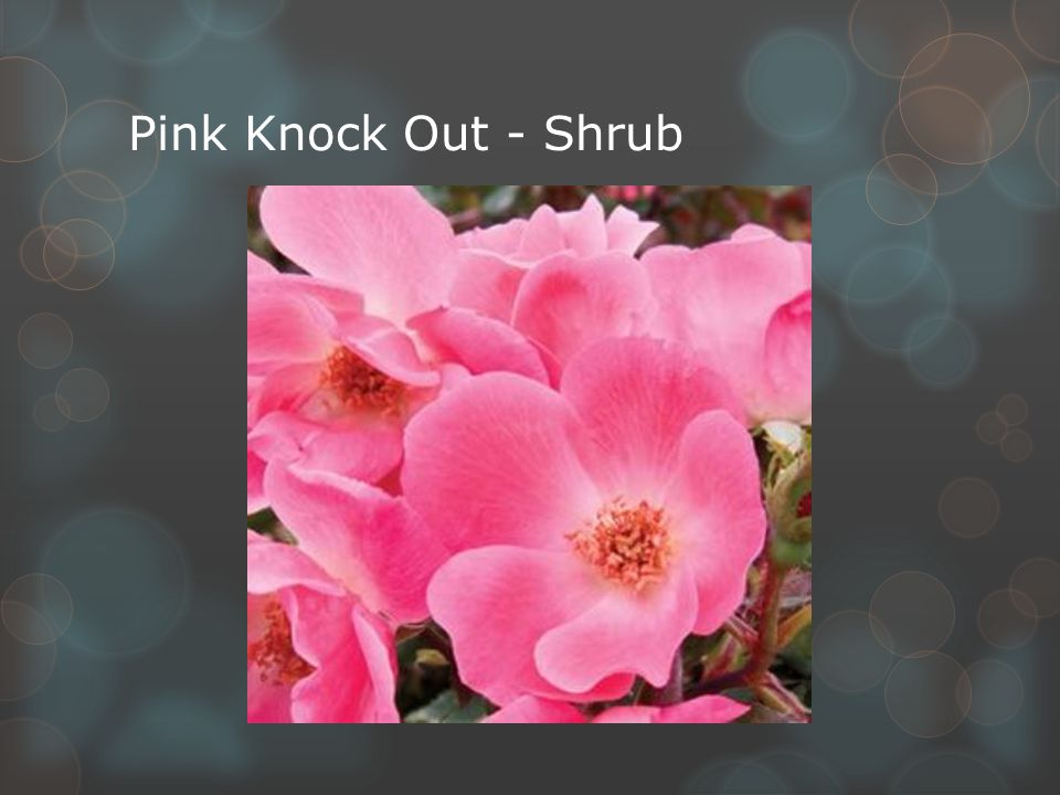 Pink Knock Out - Shrub