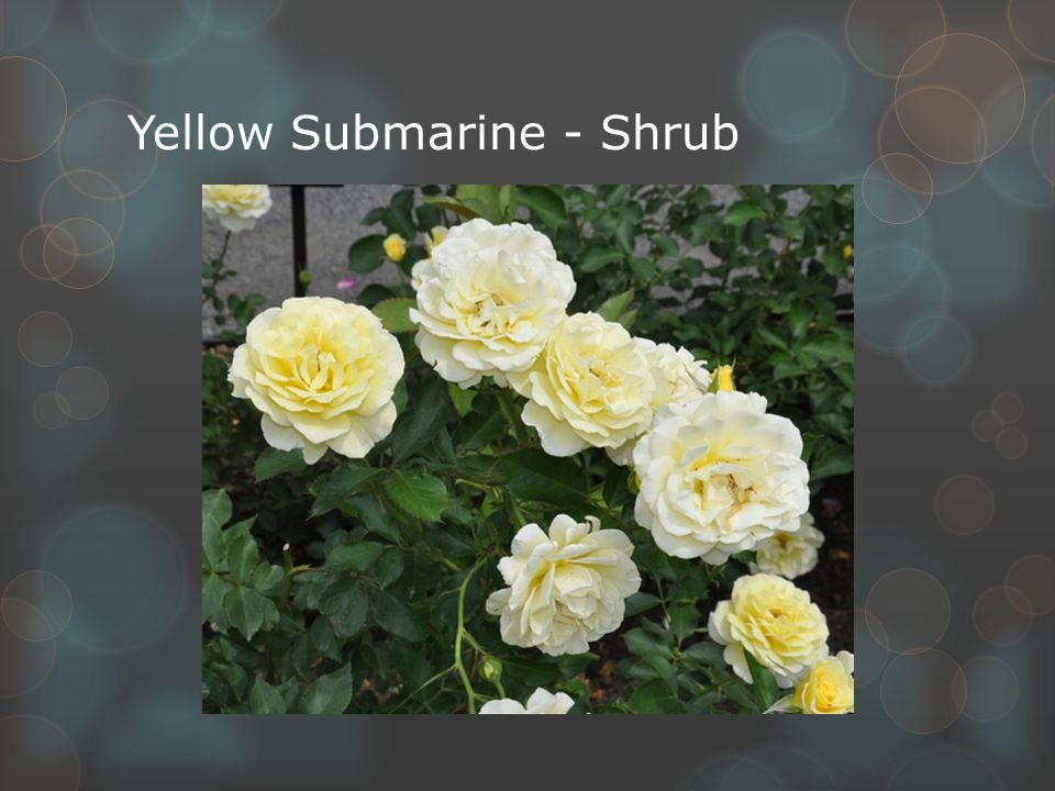 Yellow Submarine - Shrub